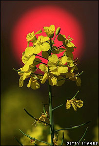 Rapeseed (Getty Images)