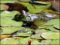 Bullfrog (Dina El Tounsy-Garner)