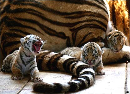 Siberian tiger cubs at a tiger park in north east China