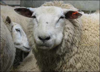 Piero Tassinari snapped these sheep at Amelia farm in the Vale of Glamorgan