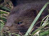 Mink - File picture