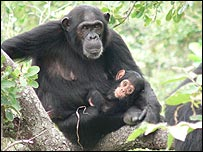 Chimps  in Goombe National Park, Tanzania. Image courtesy of Dr Mike Wilson/Science