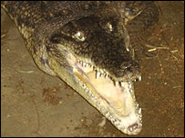 A crocodile at the farm