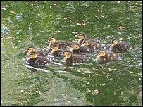 Ten ducks