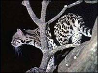A margay