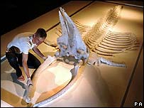 Artist Dan Harvey and the skeleton of a Minke Whale