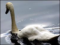 Swan (BBC)