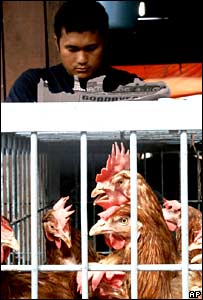 Chickens (AP)