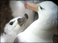 Black-browed albatross (Chris Harbard)
