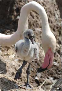 Theo the new flamingo chick with his mother