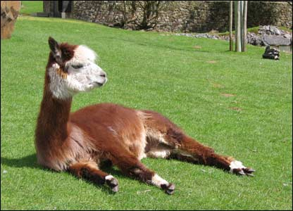 A llama at Dan yr Ogof, as sent by Kevin Williams in Birchgrove, Swansea