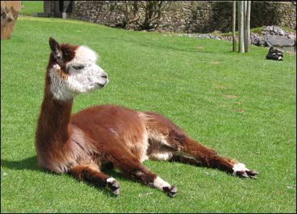 A llama at Dan yr Ogof, as sent by Kevin Williams in Birchgrove, Swansea