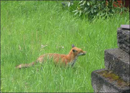 Alun Rowlands spotted this fox in his Swansea garden