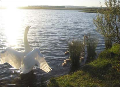 A family of swans and young on Machynys golf course at Llanelli (Andrew Lane)