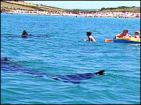 Basking sharks off the Cornish coast