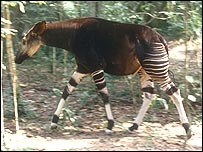 Okapi Okapia johnstoni Ituri, Okapi Wildlife Reserve, Ituri Reserve, Democratic Republic of Congo. Image courtesy WWF-Canon/PJ Stephenson)