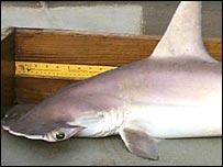 Tiburon 'Críptico' (Imagen: Universidad de Carolina del Sur)