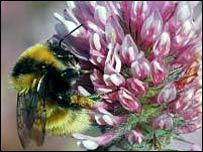 Great yellow bumblebee (The Bumblebee Conservation Trust)