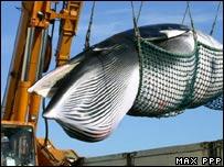 Ballena cazada en la isla de Hokkaido, Japón.