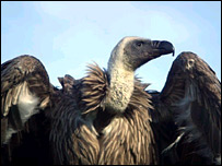 George the vulture