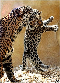 Jaguar mother and cub, AP