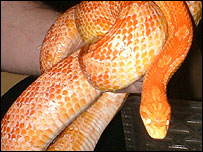 The corn snake found in the car park