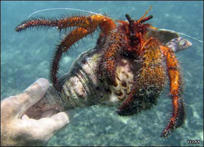 Crab, Northwestern Hawaiian Islands
