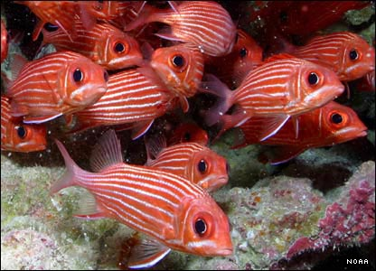 Hawaiian squirrelfish, Northwestern Hawaiian Islands