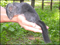 Laotian rock-rat