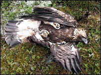 Dead golden eagle near Ballater