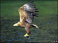 Sea eagle (Pic: RSPB/PA)