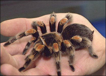 http://newsimg.bbc.co.uk/media/images/41779000/jpg/_41779544_tarantula416.jpg