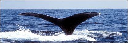 Whale dives (BBC)