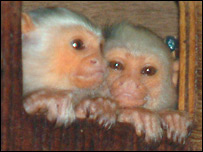 Jazz and Captain Jack, silvery marmosets