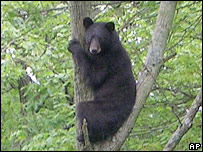 Black bear in New Jersey, AP