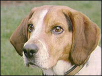 Beagle (file photo)