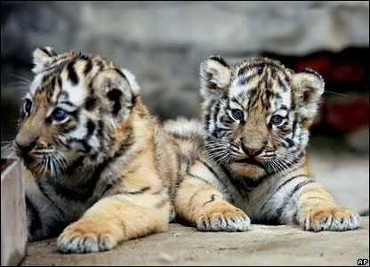 http://newsimg.bbc.co.uk/media/images/41793000/jpg/_41793660_tigercubs_416_ap.jpg
