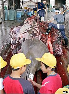 Japanese fishermen slaughter a bottlenose whale