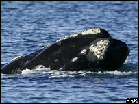 Southern right whale (AFP)