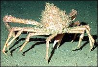 Spider crab, Noaa