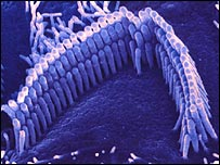 Sensory hair cells in the inner ear
