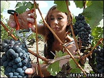 A woman harvests grapes at the Chateau Lafitte estate in Bordeaux