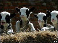 Lamb quads on a British farm