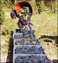 Hermitage grapes