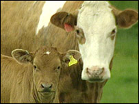 Cow and calf (generic)