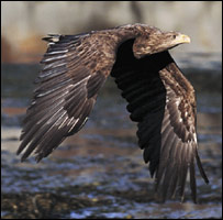 White-tailed eagle (RSPB Images)