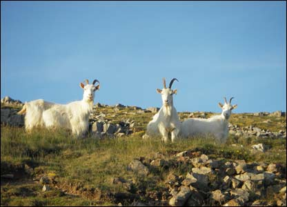 The Great Orme goats staring at the camera, sent by Alison Davies