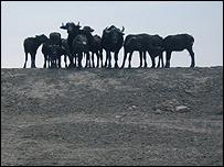 Marshland buffalo