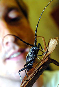 Giant Capricorn Beetle
