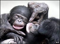 Bonobos (pygmy chimpanzees).  Image: AP